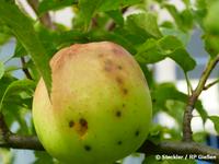 Schorfflecken an Apfel