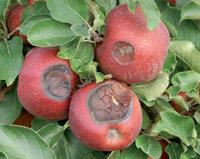 Sonnenbrandschaden an Apfel (Foto: ESTEBURG)