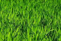Ausschnitt grüner Rasen von Quelle: EM-Chiemgau.de