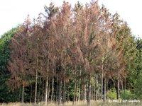 abgestorbene Fichtenbäume nach Borkenkäferbefall