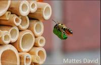 Blattschneidebiene beim Nestbau, von Mattes David (Quelle: Naturgartenfreunde)