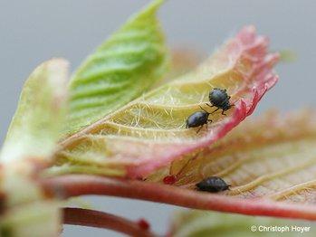 schwarze kirschenblattlaus sch den an bl ttern und trieben s kirsche obst. Black Bedroom Furniture Sets. Home Design Ideas