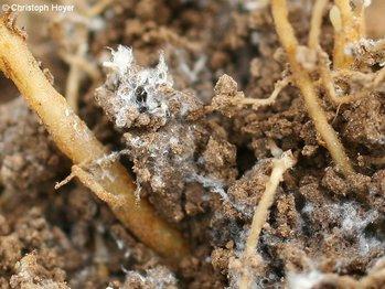 Blattläuse Im Salat : salatwurzellaus kopf und schnittsalat gem se ~ Lizthompson.info Haus und Dekorationen