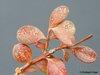 spinnmilbe buxus buchsbaum laubgeh lze sch den an einzelnen arten ziergeh lze. Black Bedroom Furniture Sets. Home Design Ideas