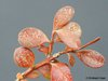 spinnmilbe buxus buchsbaum laubgeh lze sch den an. Black Bedroom Furniture Sets. Home Design Ideas