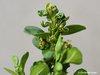 gallmilbe buxus buchsbaum laubgeh lze sch den an. Black Bedroom Furniture Sets. Home Design Ideas