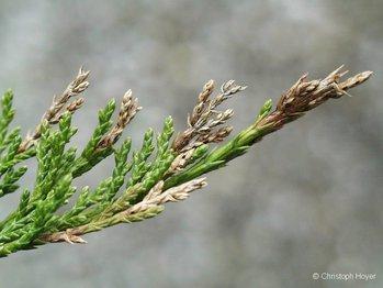 miniermotte juniperus schaderreger an einzelnen ziergeh lzen ziergeh lze ffentliches. Black Bedroom Furniture Sets. Home Design Ideas