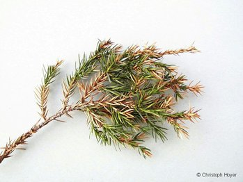 triebsterben wacholder juniperus nadelgeh lze ziergeh lze pflanzenschutzinfothek rp gie en. Black Bedroom Furniture Sets. Home Design Ideas