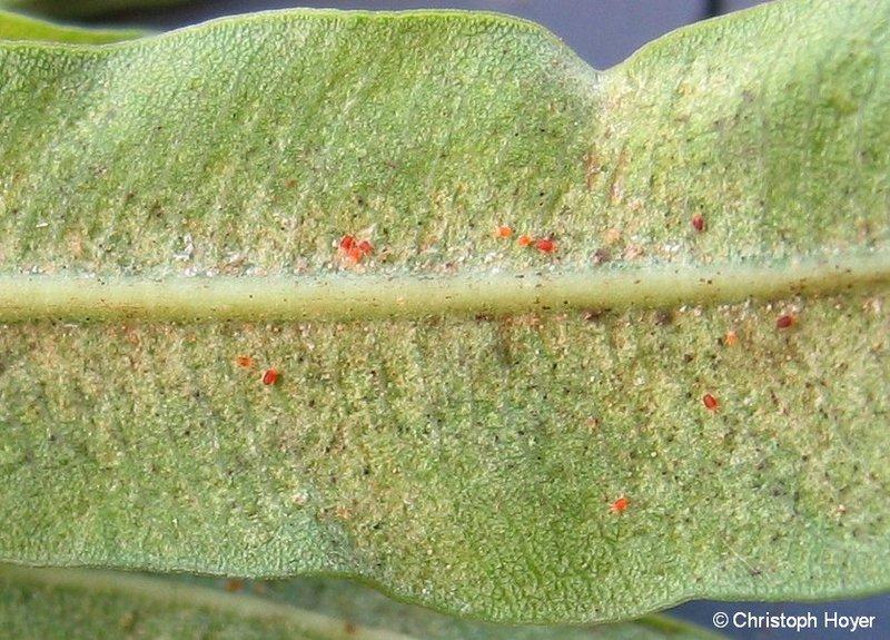 Zimmerpflanzen sch dlinge sch dlinge zimmerpflanzen for Fliegen in der pflanzenerde