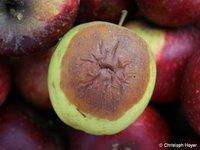 Lagerfäule an Äpfeln